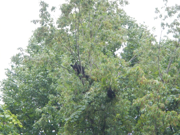 This one tree had three black bears in it - a mother and two cubs.