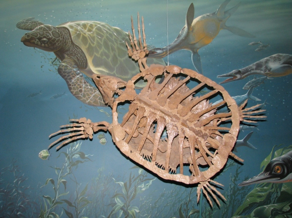 A sea turtle from the Late Cretaceous Period (80-70 million years ago), collected from Kansas (yes, Kansas was once completely under water!)