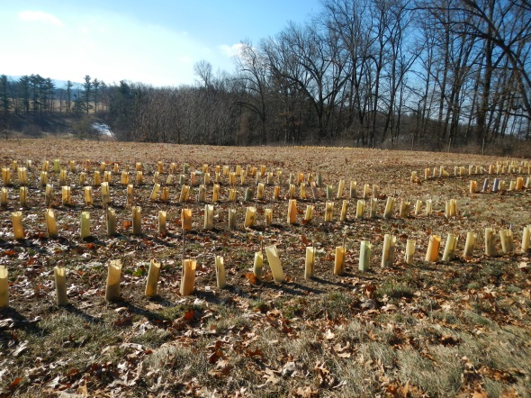 Just one section of one of the chestnut orchards on the Penn State University Park campus.